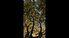 Horse Chestnut (Aesculus hippocastanum) - canopy - October 2017 (terrencepickles) Tags: horse chestnut aesculus hippocastanum canopy october 2017