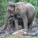 #SriLanka as seen by #ArturoNahum - Wild Sri lankan Elephants
