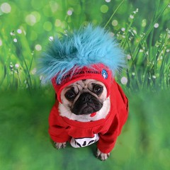 Here Comes Trouble! (DaPuglet) Tags: pug pugs dog dogs animal animals costume halloween drseuss catinthehat thing cartoon cute puppy funny thefunhouse coth alittlebeauty coth5 sunrays5 saariysqualitypictures