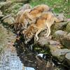 Wolves (JuliSonne) Tags: wolves pack drink predator wild fur water nature