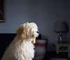 PB030313.jpg (Hamish78) Tags: cockapoo pondering dog