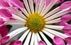 Sweet Mumshine (AnyMotion) Tags: yolaportespoonchrysanthemum chrysantheme blossom blüte petals blütenblätter vase 2017 plants pflanzen anymotion macro makro nature natur blumen floral flowers frankfurt 6d canoneos6d colors colours farben pink rosa white weis yellow gelb makroaufnahmen ngc npc