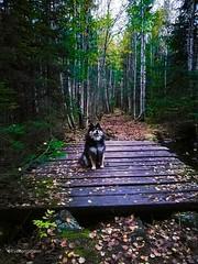 C'mon mom (evakongshavn) Tags: goout outside outhiking outdoor outdoordogs adventure forest forestbathing oldforest oldbridge handmade bridge new light