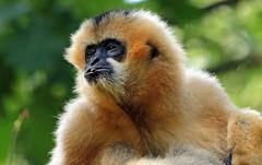 whitecheeked gibbon Apenheul BB2A2004 (j.a.kok) Tags: apenheul monkey aap mammal animal dier zoogdier gibbon witwanggibbon whitecheekedgibbon zuidamerika southamerica