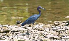 Little Blue Heron On The Rocks (Kaptured by Kala) Tags: egrettacaerulea littleblueheron heron whiterocklake dallastexas aquatic aquaticbird waterfowl waders smallheron rocks areabehindthelowerspillwaysteps