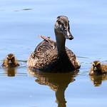 Mallard & Ducklings thumbnail