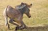 grevy zebra artis BB2A2576 (j.a.kok) Tags: zebra grevyzebra grevy´szebra equusgrevyi equus artis animal zoogdier dier mammal herbivore afrika africa