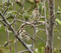 Yellow-rumped Warblers, Tide Water Farm (Bill Bunn) Tags: yellowrumpedwarblers falmouth maine