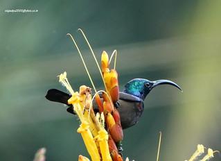 DSC06951 Loten's Sunbird-Male (Cinnyris lotenius)