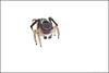 anomalus x5b (GTV6FLETCH) Tags: maratus peacockspider spider jumpingspider macro macrophotography onwhite