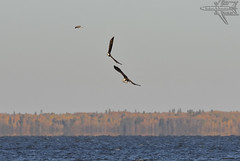 Fight's On (Winglet Photography) Tags: wingletphotography georgewidener stockphoto earth canon 7d georgerwidener gullharbour heclaisland provincialpark manitoba canada baldeagle fight osprey nature natural animal bird lakewinnipeg