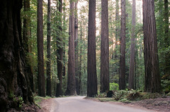 27_119186020022 (phatwhistle) Tags: redwoods california humboldt canonft 35mm film nature landscape giants