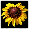 Black-Eyed Susan. (kimlno) Tags: nature flora flower blackeyedsusan kimlno