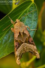 Angle Shades (Phlogophora meticulosa) (gcampbellphoto) Tags: angleshades phlogophorameticulosa mothinsect macro nature wildlife ivy mthnight northantrim gcampbellphoto