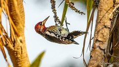 Red-breasted Sapsucker (Bob Gunderson) Tags: birds california fortmason northerncalifornia redbreastedsapsucker sanfrancisco sphyrapicusruber woodpeckers