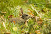 (_jyphotography) Tags: photography pictures jyphotography jypictures wildlife wildlifephotography animalphotography animals animal canon7d canon canonphotography nature naturephotography rabbit