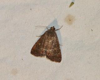 9070 Amyna stricta, Eight-spot Moth