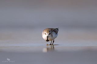 Spoon-Billed Sandpiper (Calidris pygmaea) 勺嘴鹬 sháo zuǐ yù