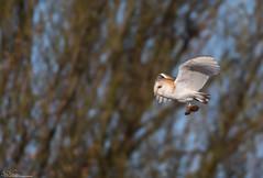 Barn Owl And Prey (Steve (Hooky) Waddingham) Tags: stevenwaddinghamphotography bird british barn wild wildlife prey countryside nature flight hunting voles mice