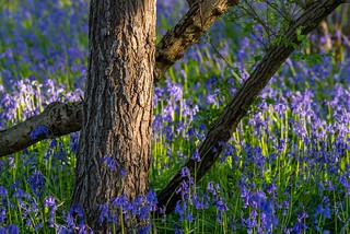 Blue bells will be here soon