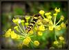 Zweefvlieg... (Omroep Zeeland) Tags: zweefbij zweefvlieg insect