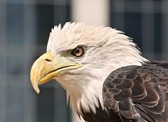 Bald Eagle (Bill Jacomet) Tags: take me outdoors outside houston discovery green downtown park city tx texas 2017 bald eagle
