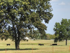 Content Cattle (clarkcg photography) Tags: cattle cow calf shade tree pasture graze midday blackangus angus animal fauna sundayfauna 7dwf