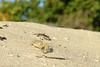 Crab. (MTL-PTP) Tags: crab sand nature sun beach
