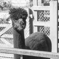 Sinclair having brunch (FourteenSixty) Tags: northamptonshire leica monochrome orlingbury sinclair camelid alpaca