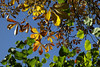 Haust (dese) Tags: botaniskhage victoriahuset tøyen universitetetsbotaniskehage tøyenhagen garden haust autumn easternnorway norway noreg austlandet oslo laurdag saturday ferie haustferie october14 2017 october142017 2017 october oktober hage lauv blad scandinavia höst otoño herbst colours fargar