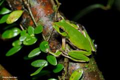 DSC_6496 (Albert-Chen) Tags: 新店 烏來 四崁水 翡翠水庫 樹蛙 赤蛙 青蛙 微距攝影 frog d700 nikon 生態