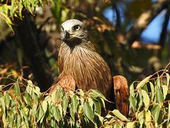 Milhafre-preto / Black kite  (Milvus migrans) (Marina CRibeiro) Tags: portugal lisboa lisbon milhafre kite ave bird rapace rapina