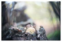 Alien (leo.roos) Tags: mushroom mushrooms fungus fungi paddenstoel paddestoel paddenstoelen paddestoelen schimmel schimmels zwam zwammen swirly autumn fall herfst beerzebulten cinelens movielens cmount a7rii taylortaylorandhobson cookekinic1inch15 darosa leoroos