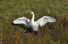 Elmley on Sheppey with swan stretching out (philbarnes4) Tags: swan wings nikond5500 dslr philbarnes wildlife stretch marsh grass reed elmley sheppey kent england