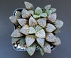 Haworthia 'Yumedono', ex Japan (ex S.T.C./Netherland 80552, 21.11.2013) (igormilekhin) Tags: haworthia yumedono japan stc cultivar plant leaf succulent