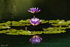 Alignment (Irina1010_out for sometime) Tags: waterlilies purple flowers reflections lilypads pond water nature canon ngc npc
