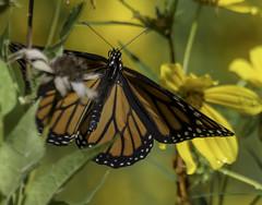 MonarchButterfly_SAF2037 (sara97) Tags: danausplexippus butterfly copyright©2017saraannefinke endangered insect missouri monarch monarchbutterfly photobysaraannefinke pollinator saintlouis