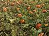 Recoger Calabazas En Estados Unidos (yosoyviajadora) Tags: calabazas pumpkins granja farm dulces experiencia divertido yosoyviajadora amoviajar mujeres viajeras hispanohablantes espanol tradiciones y costumbres estados unidos recoger