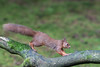 Red Squirrel - on the run (Gareth Keevil) Tags: autumn curious cute detail fluffy fluffytail garethkeevil hawes nationalpark nikon northyorkshire red redsquirrel snaizeholme squirrel uk upclose whiskers woodland yorshiredales