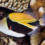 Wedgetail Triggerfish - Rhinecanthus rectangulus thumbnail