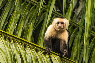 White-Faced Capuchin 277 of 365 (4)