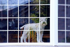 At the Window (Haytham M.) Tags: friendly security dog pet reflection autumn fall october pane guard window