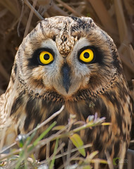 Short-eared Owl (Asaru Kariyil Photography) Tags: shorteared owl qatar oct2017 nikond500 nikkor200500mm qatarbirds birdsofqatar asarukariyil ponnaanikkaran nikon nikkor nikkor200500 nature qatarwidelif