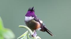 Purple-Throated Woodstar-Calliphiox Mitchellii (tonydawe1) Tags: calliphloxmitchellii purplethroatedwoodstart fieldguidebirdsoftheworldunlimitededition flowers nectar trees plants
