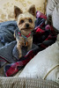 Nemo 10-22-17 (MelenaMe) Tags: nemo yorkie yorkiepoo yorkiepoodle pet dog animal canine blanket pillow sofa