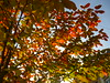 Amelanchier on fire (Jörg Paul Kaspari) Tags: trier vorgarten thebäerstrase amelanchier lamarkii amelanchierlamarkii felsenbirne baum tree abre herbstfärbung autumncolor herbst autumn