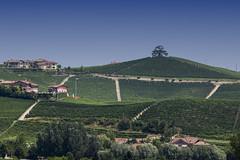 Cedro del libano (carlobaldino) Tags: cedro del libano la morra cuneo piemonte piedmont italy cordero di montezemolo vigne nebbiolo barolo