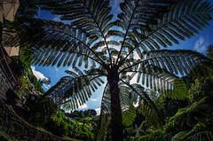 tree fern on Sao Miguel 1 (Bilderschreiber) Tags: tree fern baumfarn treefern parque natural da ribeira dos caldeirões saomiguel sao miguel azoren azores farn fischauge fisheye weitwinkel wideangle portugal