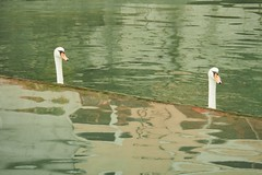 olY/259 .. french loch ness! (m_laRs_k) Tags: sunday fauna animals 7dwf annecy olympus omd nessy lochness swan suppenzoom nessie
