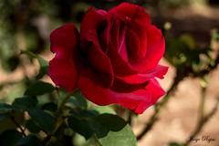 Rosa roja (jorgerojas14) Tags: rosa roja flor jardin naturaleza sol sombra macro macrografía